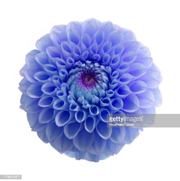 blue dahlia flower digitally colour manipulated, on white. - blue stock pictures, royalty-free photos & images