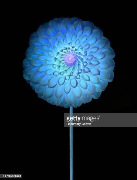 blue dahlia flower, digitally manipulated, on black. - digital enhancement stock pictures, royalty-free photos & images