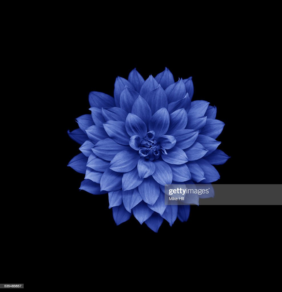 The Blue Dahlia Stock Photos And Pictures Getty Images