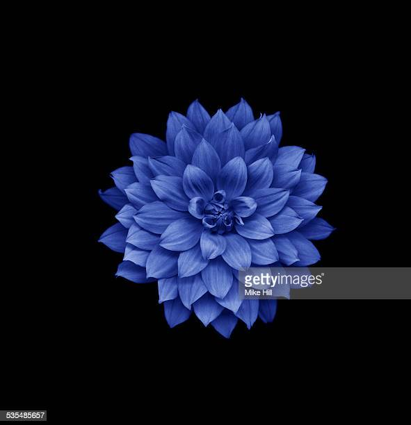blue dahlia on black background - flower head stock pictures, royalty-free photos & images