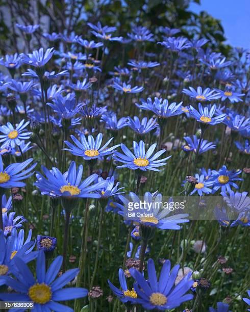 ブルー daisies - デイジー ストックフォトと画像