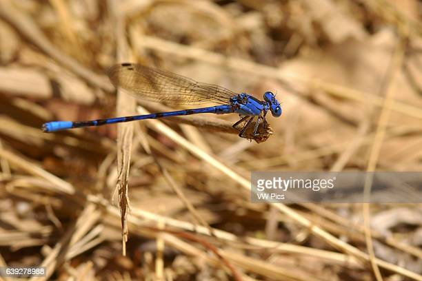 Blue Damselfly Vivid Dancer male Argia vivida Temescal Canyon Southern California