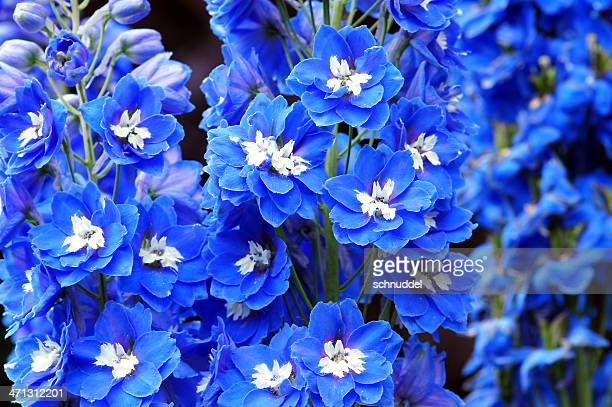 blue delphinium flower - delphinium stock pictures, royalty-free photos & images