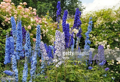 Blue Delphinium Flowers And Roses Blooming In Summer ...