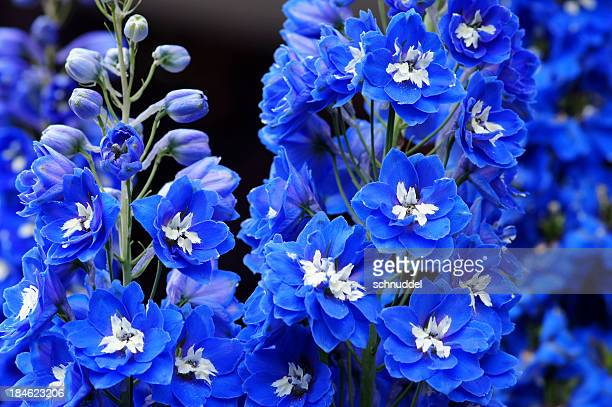 blue delphinium flowers - delphinium stock pictures, royalty-free photos & images