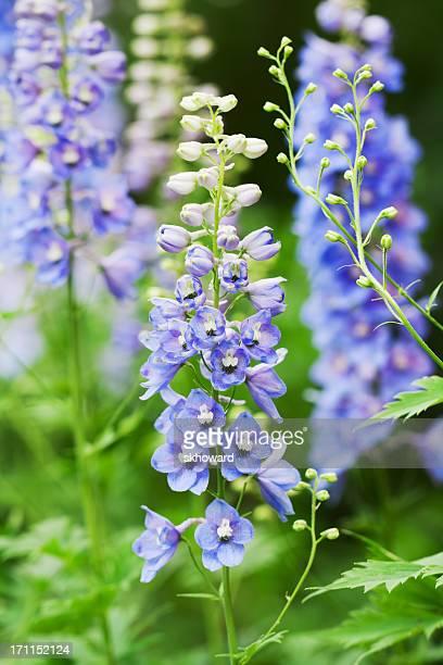 blue delphinium flowers - vertical - delphinium stock pictures, royalty-free photos & images