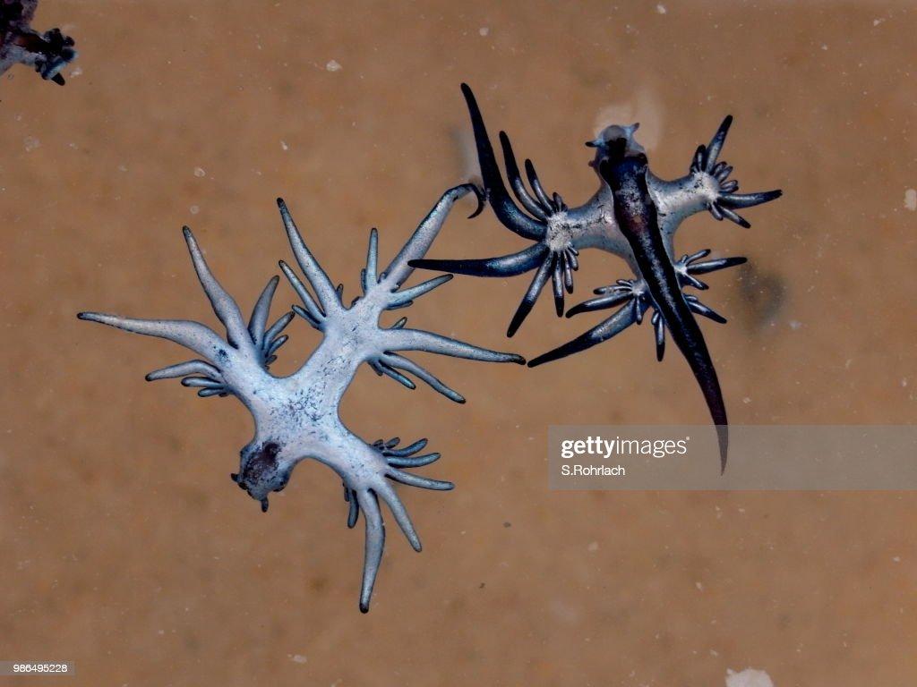 Blue Dragon, Glaucus Atlanticus, Blue Sea Slug : Stock Photo