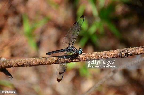 Blue dragonfly on brown twig