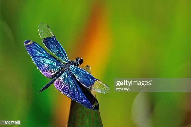 blue dragonfly - dragonfly stock-fotos und bilder