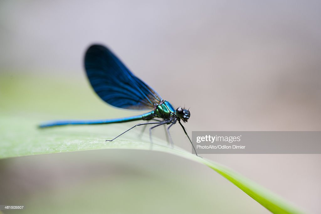 Blue dragonfly resting on blade of grass : Stock Photo