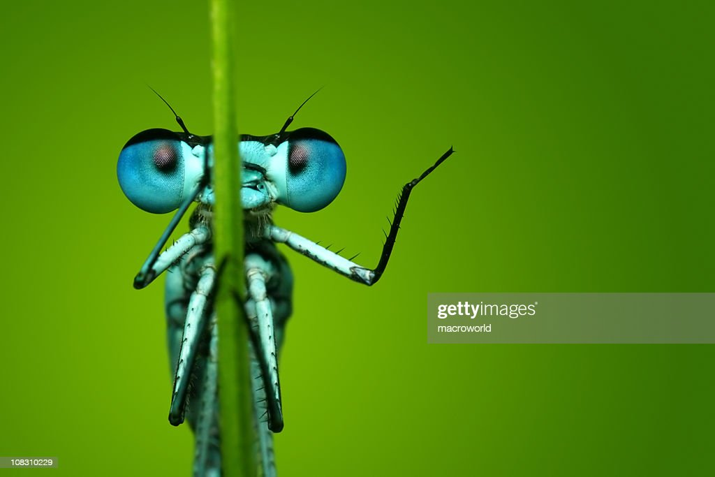 Blue Dragonfly Sitting on Blade of Grass : Stock Photo
