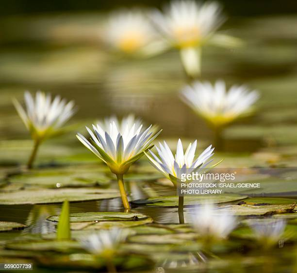 blue egyptian lotus nymphaea caerulea - photostock stock pictures, royalty-free photos & images