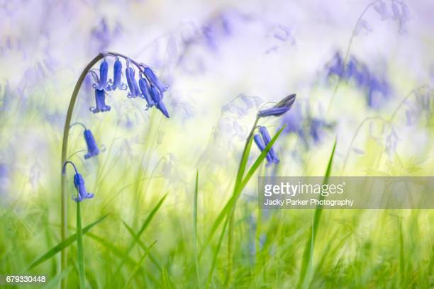 Blue English Bluebell Flowers