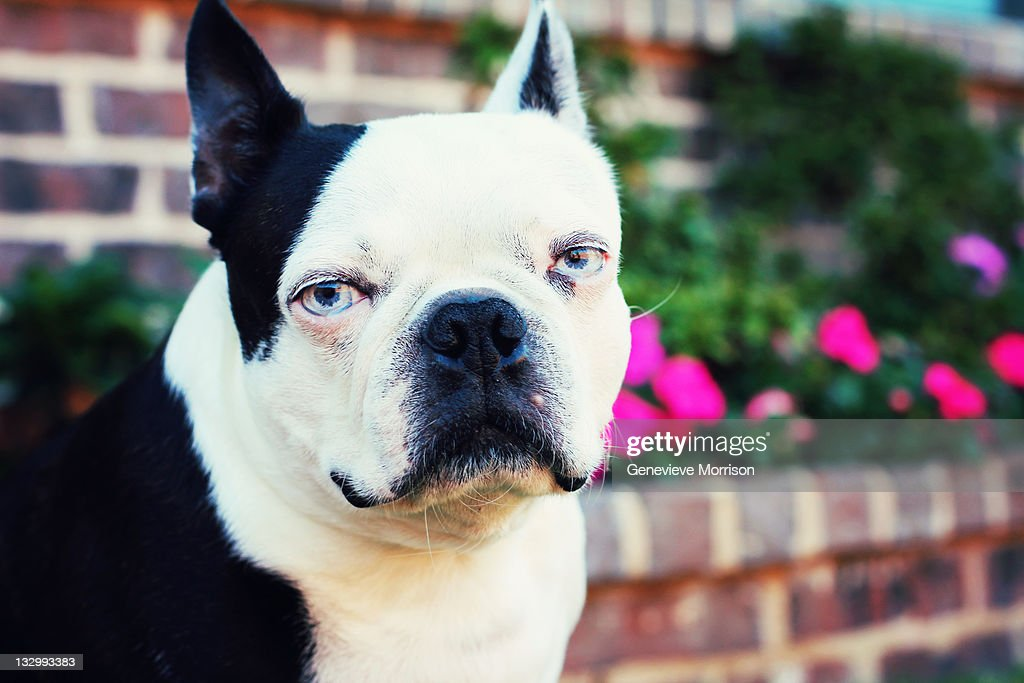 blue eyed boston terrier stock photo getty images