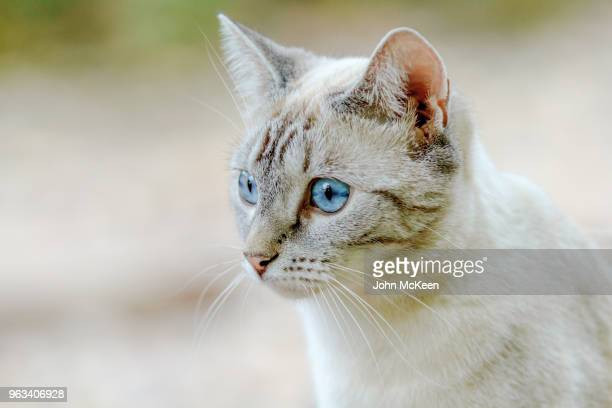 blue eyed cat - puss pics stock photos and pictures