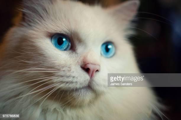 blue eyed cat - kitty sanders fotografías e imágenes de stock