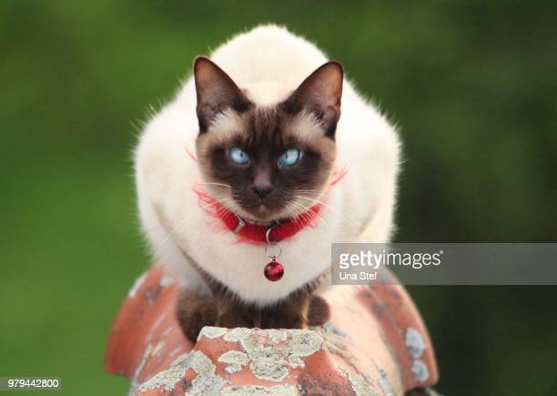 blue eyed cat - siamese cat stock pictures, royalty-free photos & images