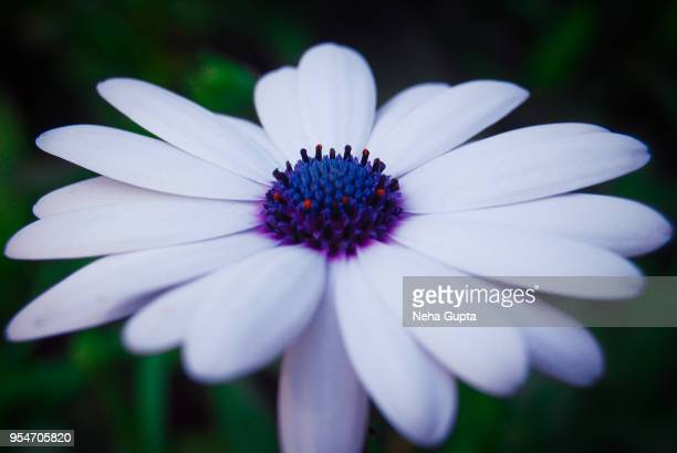 blue eyed daisy - closeup - chamomile tea stock photos and pictures
