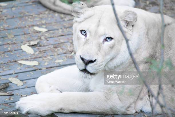 3 573 White Lion Photos And Premium High Res Pictures Getty Images