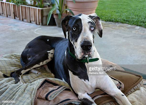 blue eyed harlequin great dane - great dane stock pictures, royalty-free photos & images