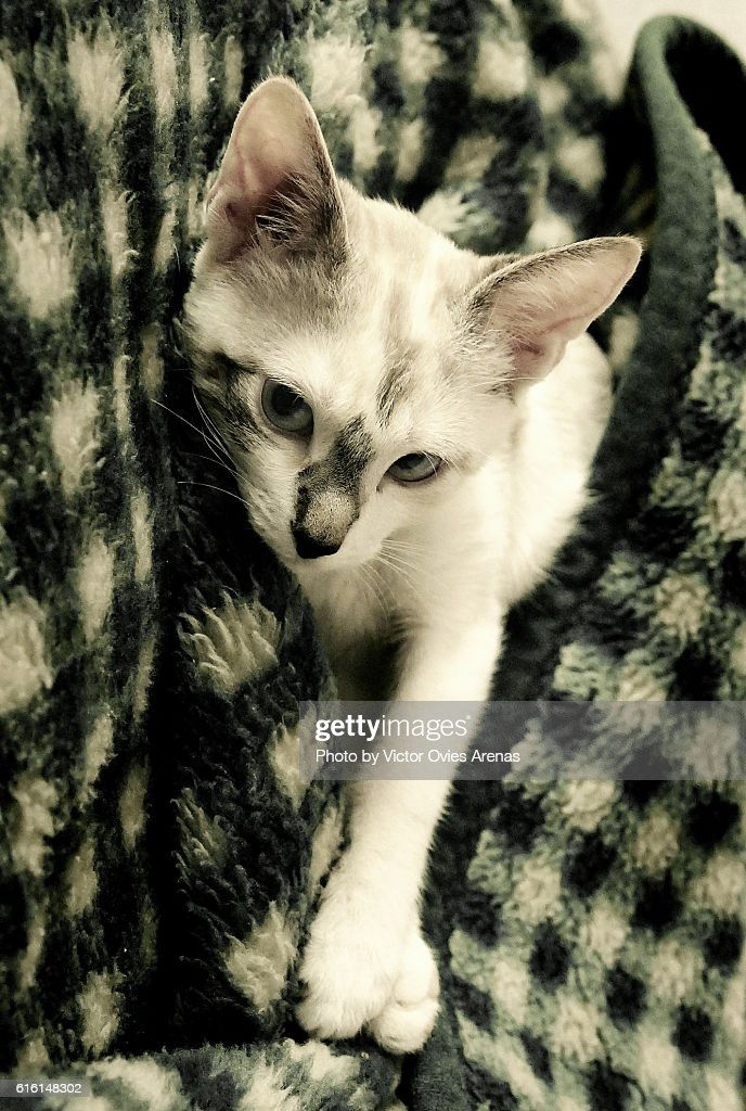 Blue Eyed Kitty on a Green and White Grid Blanquet : Foto de stock