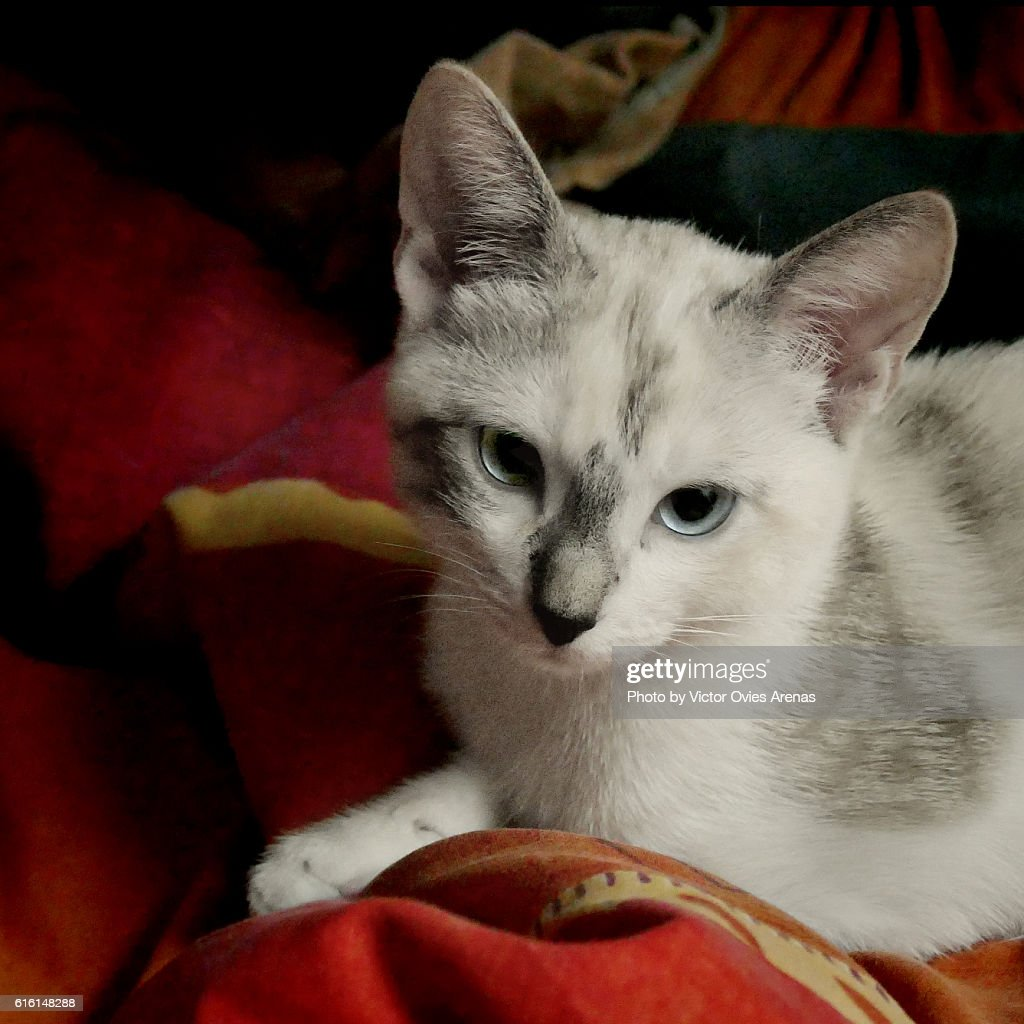 Blue Eyed Kitty on a Red Blanquet : Foto de stock