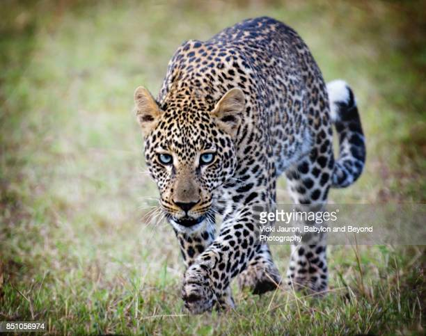 blue eyed leopard in masai mara, kenya - leopard photos et images de collection