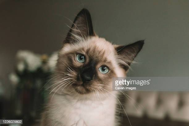 blue eyed siamese kitten sitting on table - purebred cat stock pictures, royalty-free photos & images