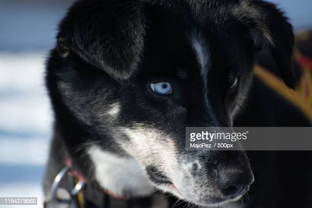 blue eyes - norrbotten province stock pictures, royalty-free photos & images