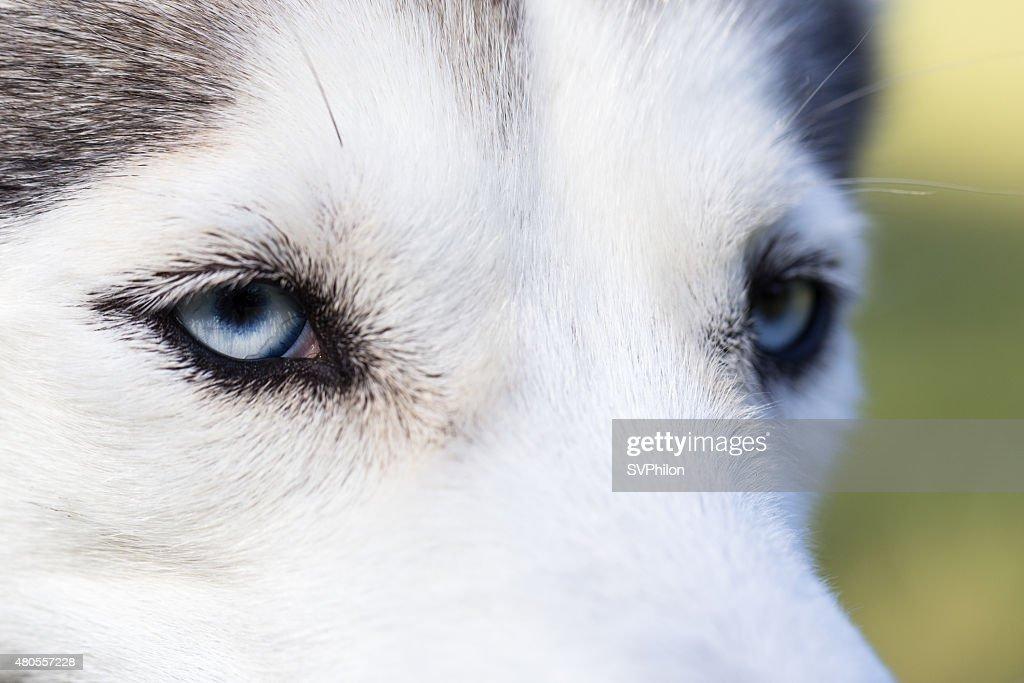 Blue eyes Siberian Husky. Closeup. : Stock Photo