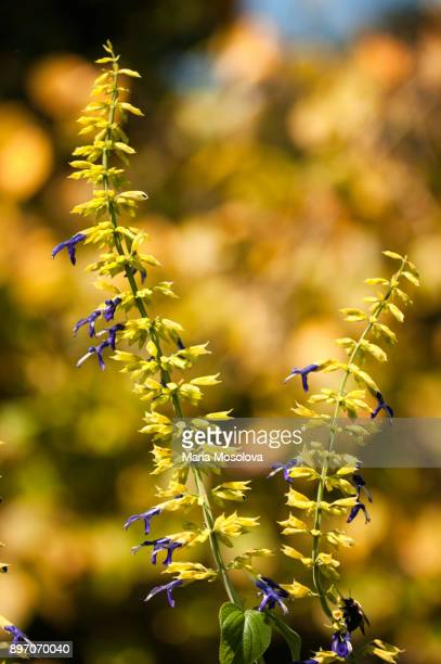 Blue Fading Flowers of Limelight Mexican Sage