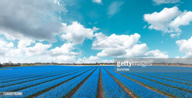 blue field - grape hyacinth stock pictures, royalty-free photos & images