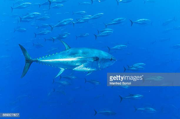 blue fin tunas school in the blue - bluefin tuna stock pictures, royalty-free photos & images