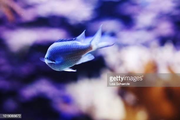 blue fish in the aquarium swimming away - オキスズキ ストックフォトと画像