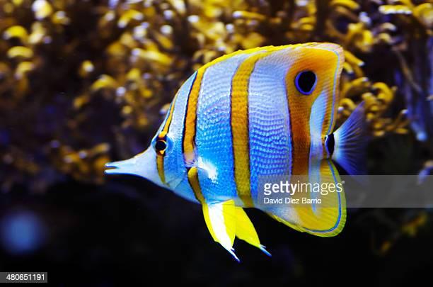 blue fish - オキスズキ ストックフォトと画像