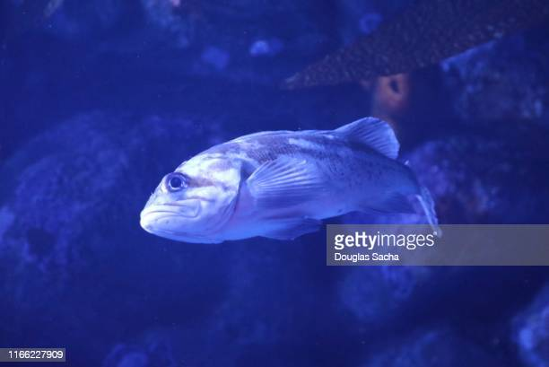 blue fishes and corals in the deep sea - オキスズキ ストックフォトと画像