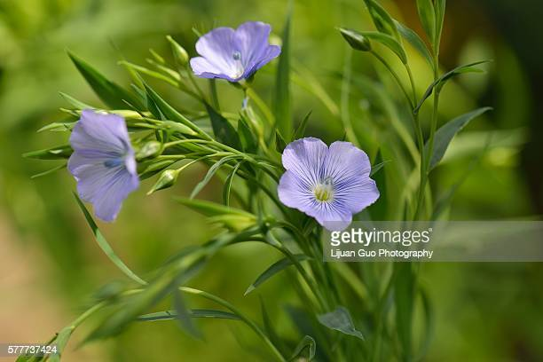 Blue Flax Flowers in field, Linum usitatissimum