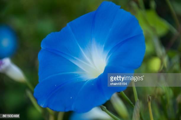 Blue flower close up. Natural herbal background.