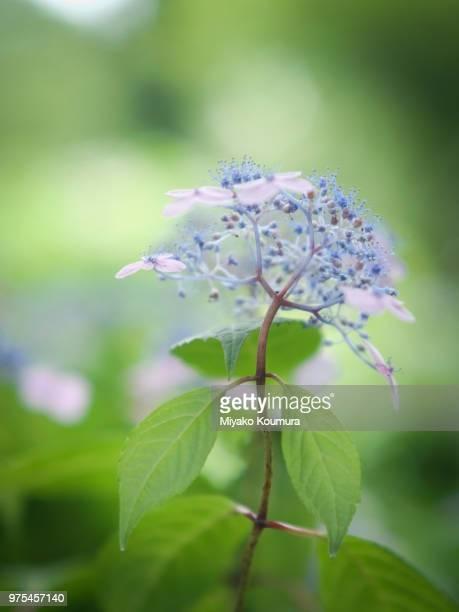 Blue flower, Japan