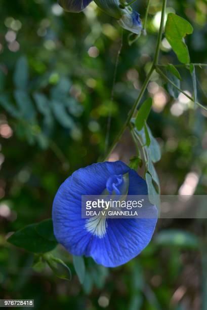 Blue flower of Clitoria Fabaceae Madagascar