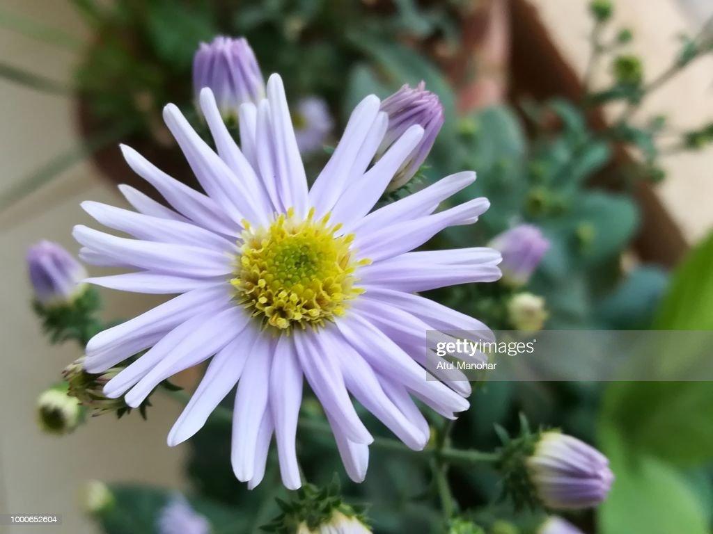 Blue flower stock photo getty images blue flower stock photo izmirmasajfo