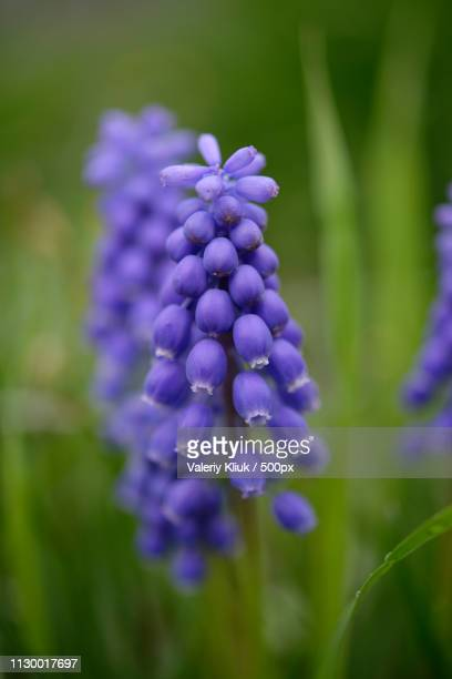 blue flower - muscari armeniacum stock pictures, royalty-free photos & images