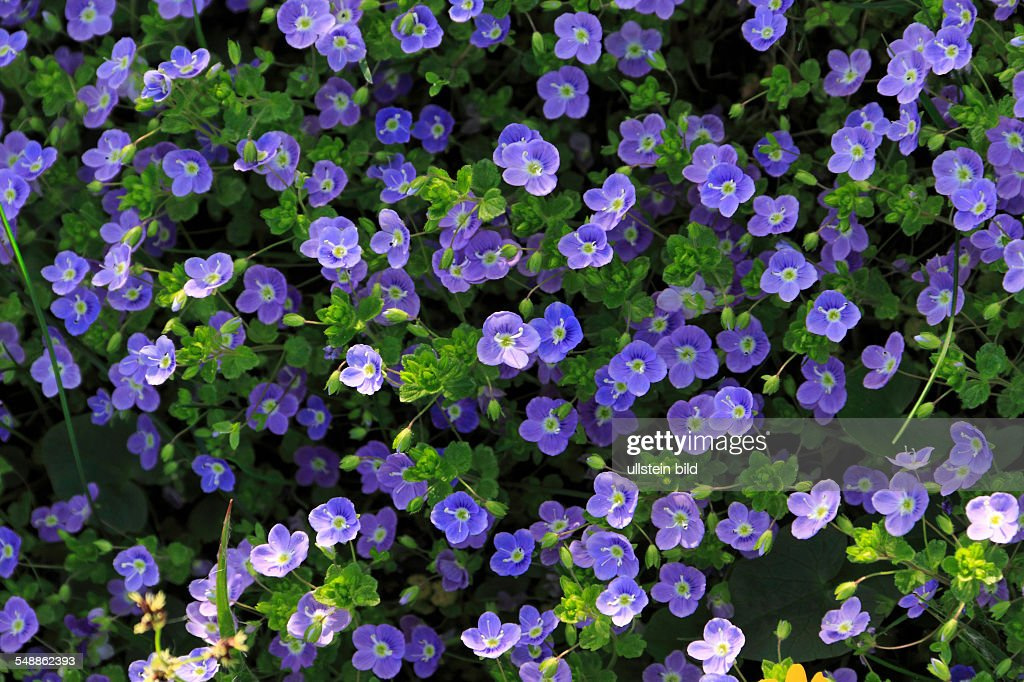 blue flowers of speedwell ニュース写真 getty images