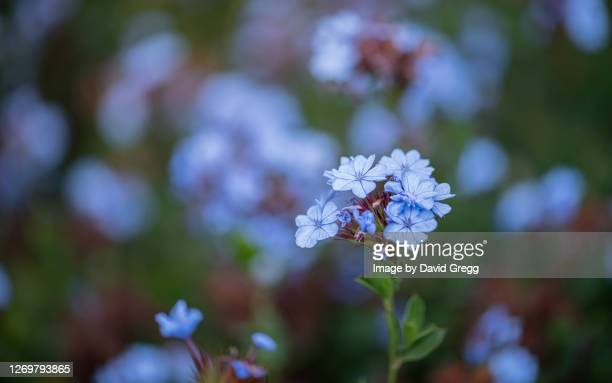 blue flowers - rancho palos verdes stock pictures, royalty-free photos & images