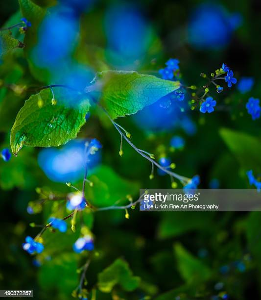 blue flowers - lise ulrich stock pictures, royalty-free photos & images