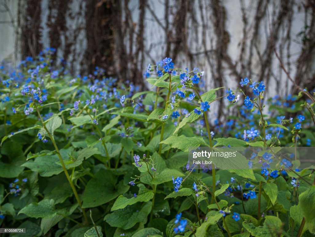 Blue flowers with ivy in background stock photo getty images blue flowers with ivy in background stock photo izmirmasajfo