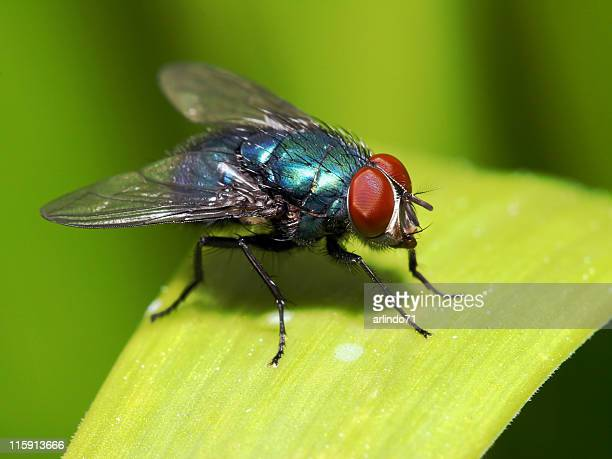 Blue fly with red eyes on blade of grass