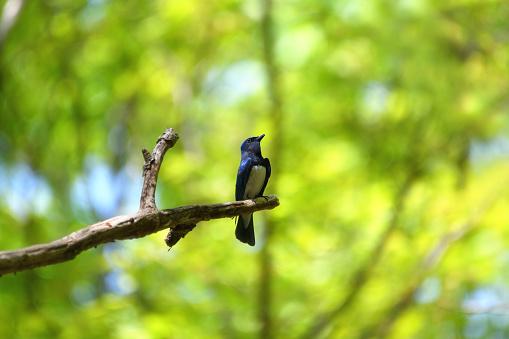 A Blue Flycatcher in the Woods - gettyimageskorea