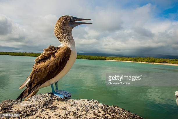 blue footed booby - galapagos islands national park stock photos and pictures
