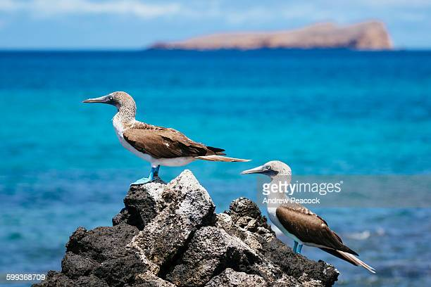 blue footed booby's, santa cruz island - isla de santa cruz islas galápagos fotografías e imágenes de stock